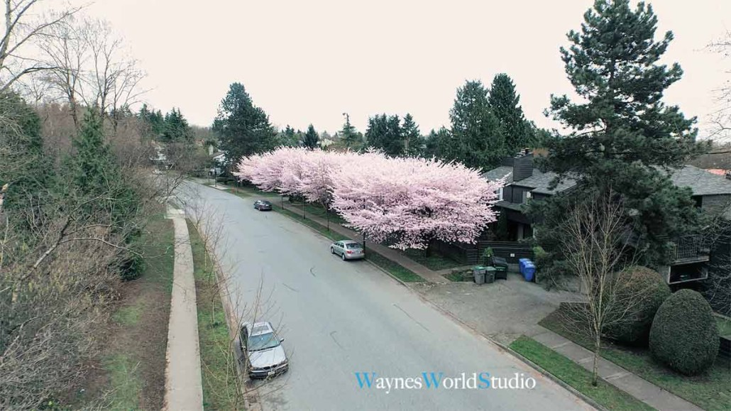cherry-blossom-high-above-view-photo